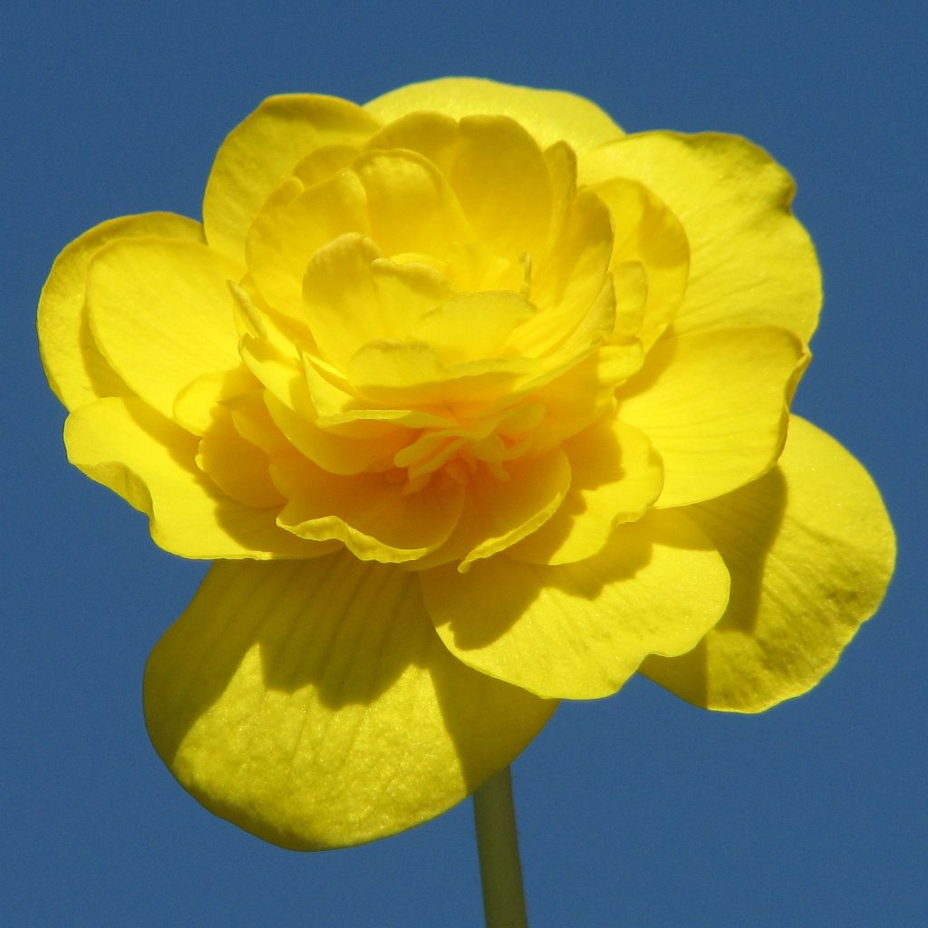 Begonia amarillas