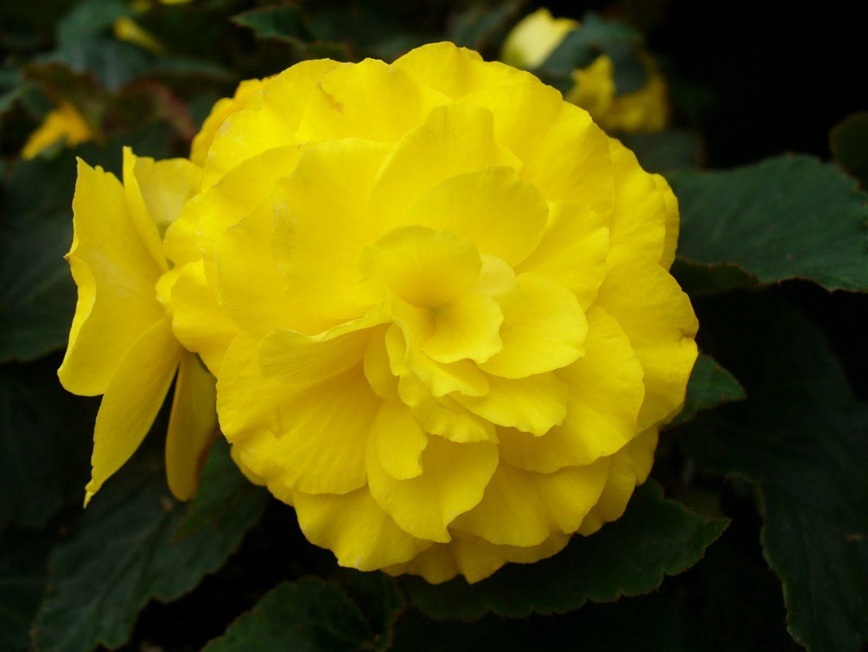 Begonia en flor