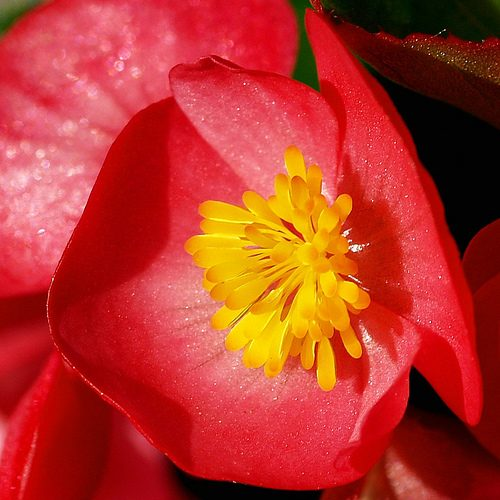 Begonia HD