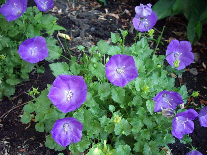 Campanillas púrpuras