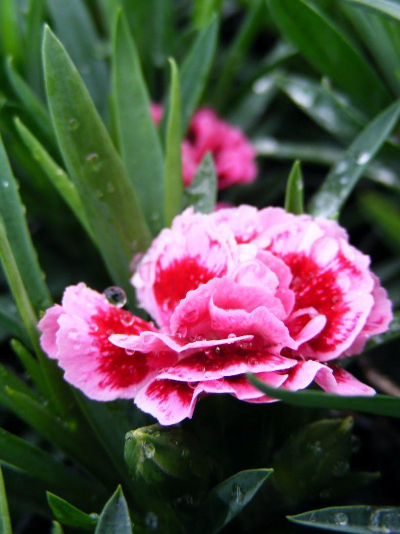 Clavel rosa