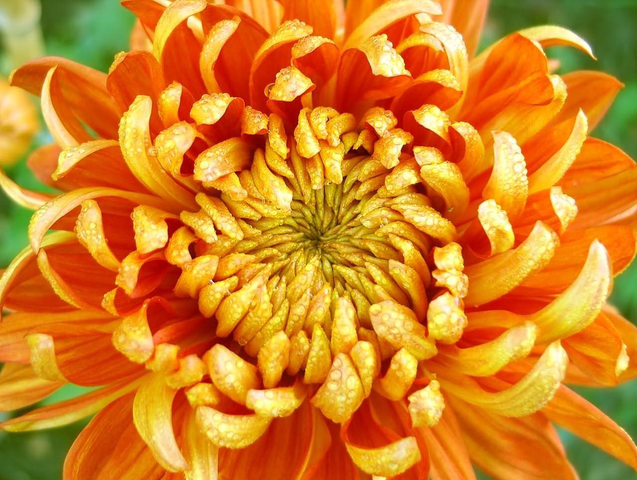 Crisantemo HD