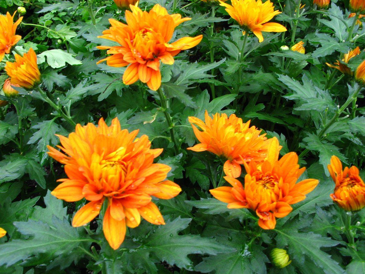 Crisantemos naranjas