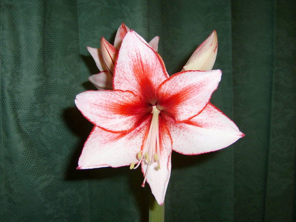 Flor de la amarilis