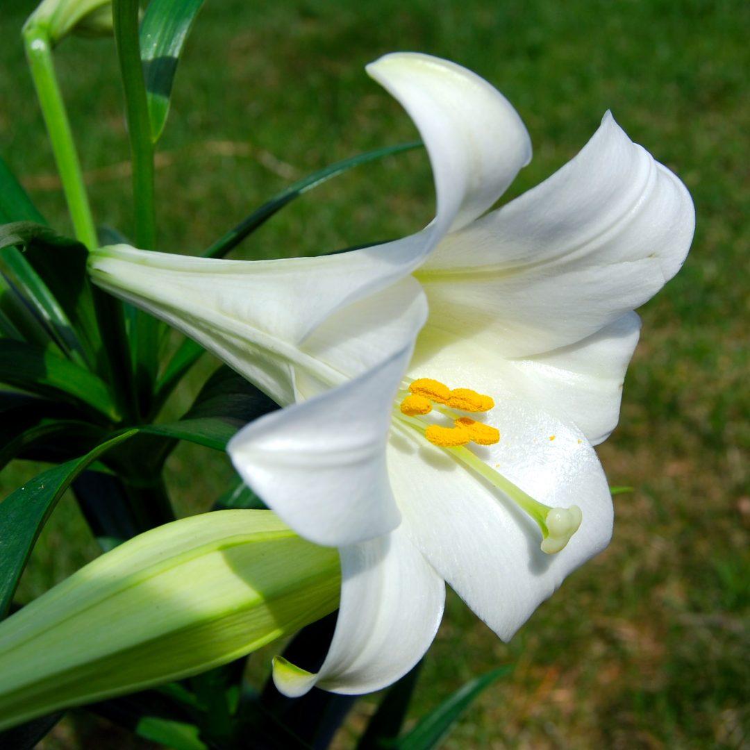 Flor de la azucena