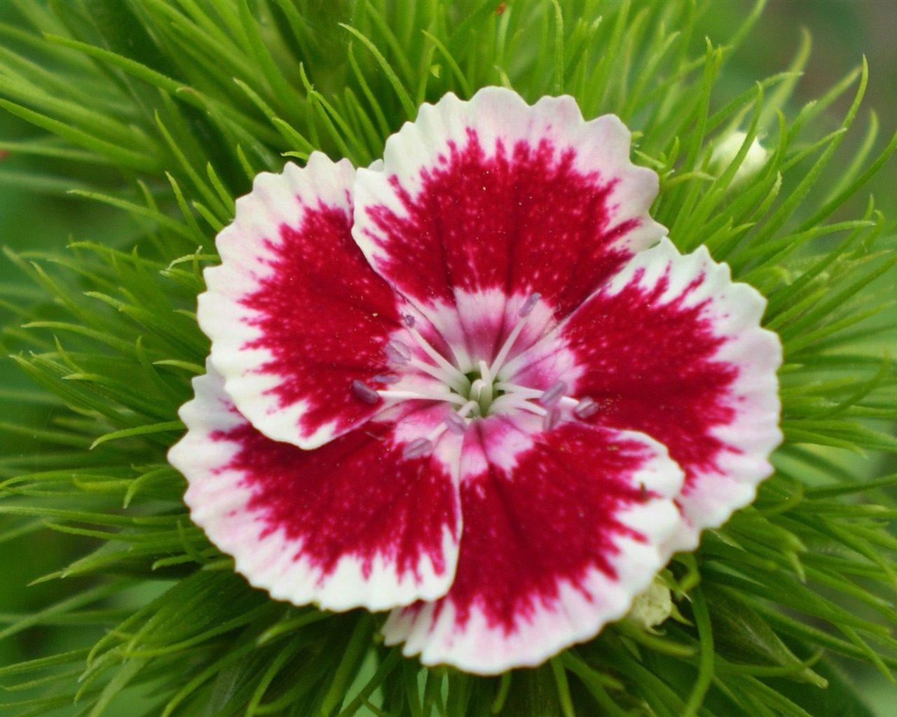Flor de una clavel