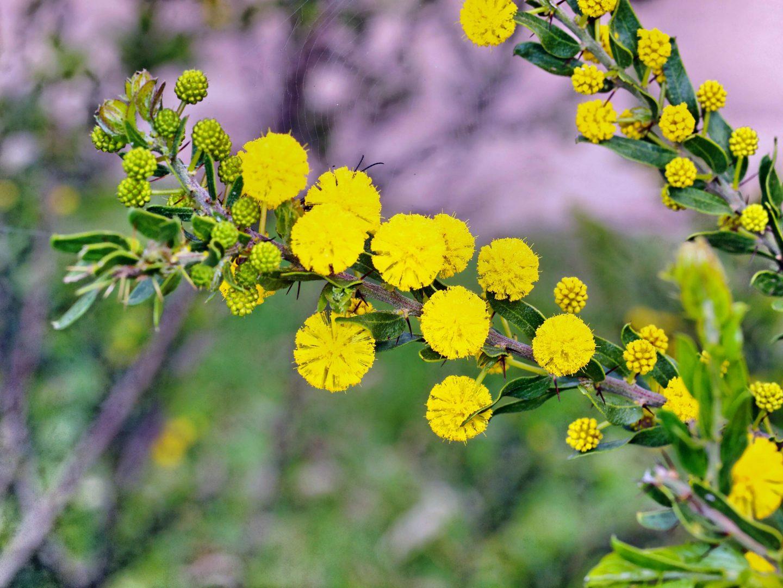 Flores amarillas: acacias