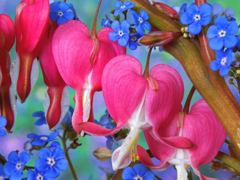 Flores colgantes Dicentra spectabilis