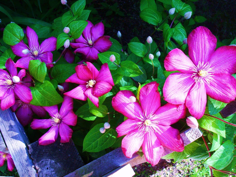 Flores de clematis