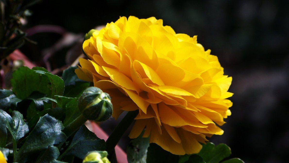 Francesilla amarilla