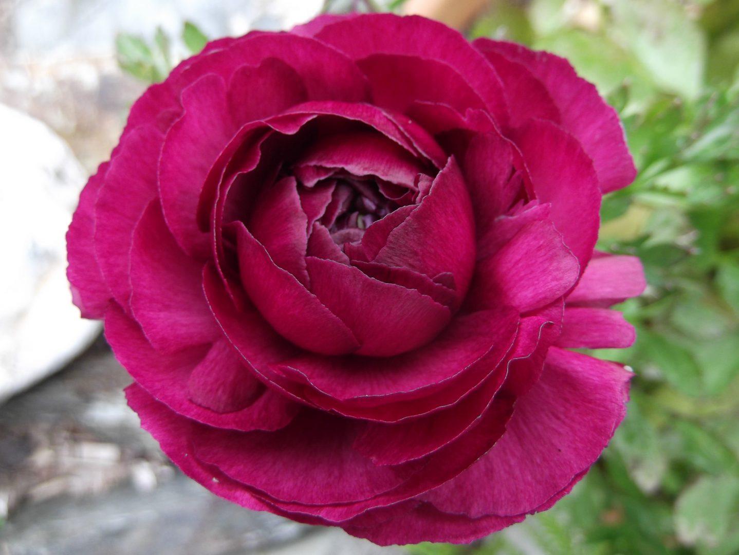 Francesilla rosa
