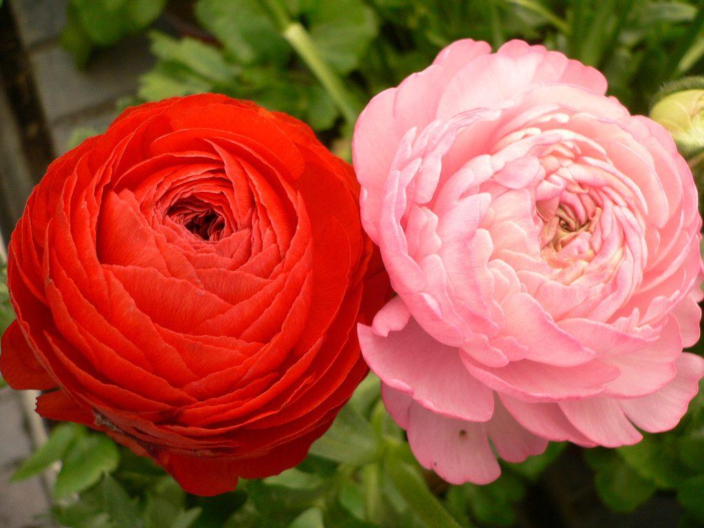 Francesillas rojas y rosas