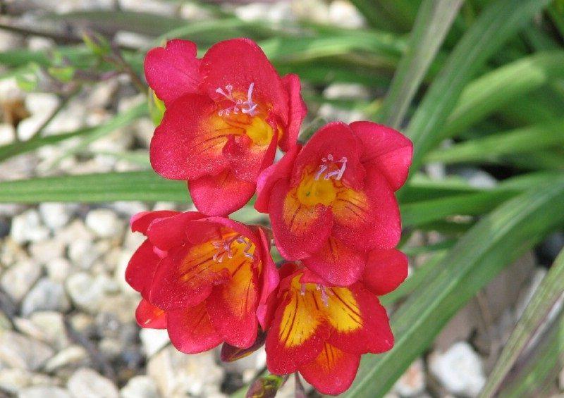 Fresias rojas