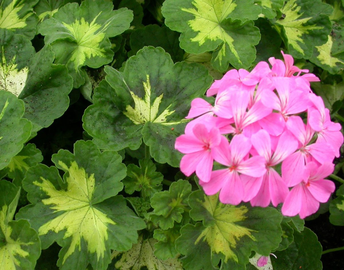 Geranio en flor