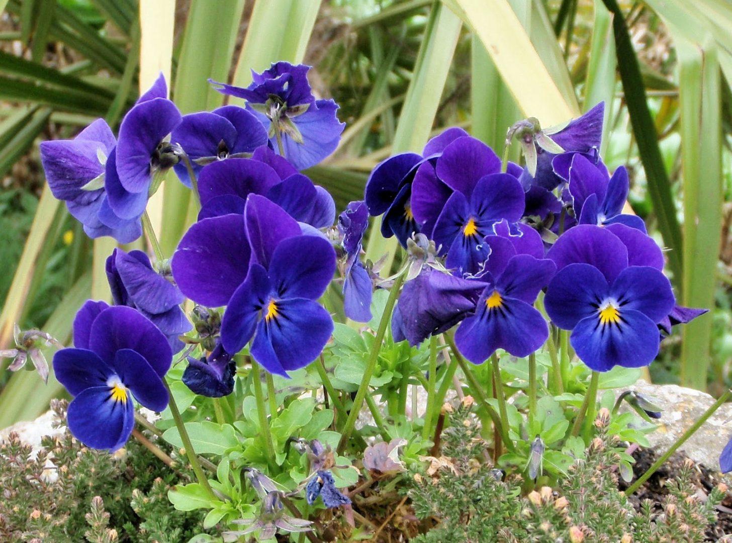 planta violeta